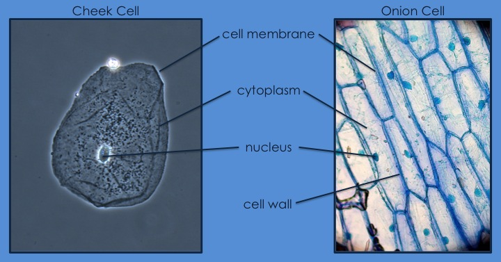Enjoy Teaching Cells 1